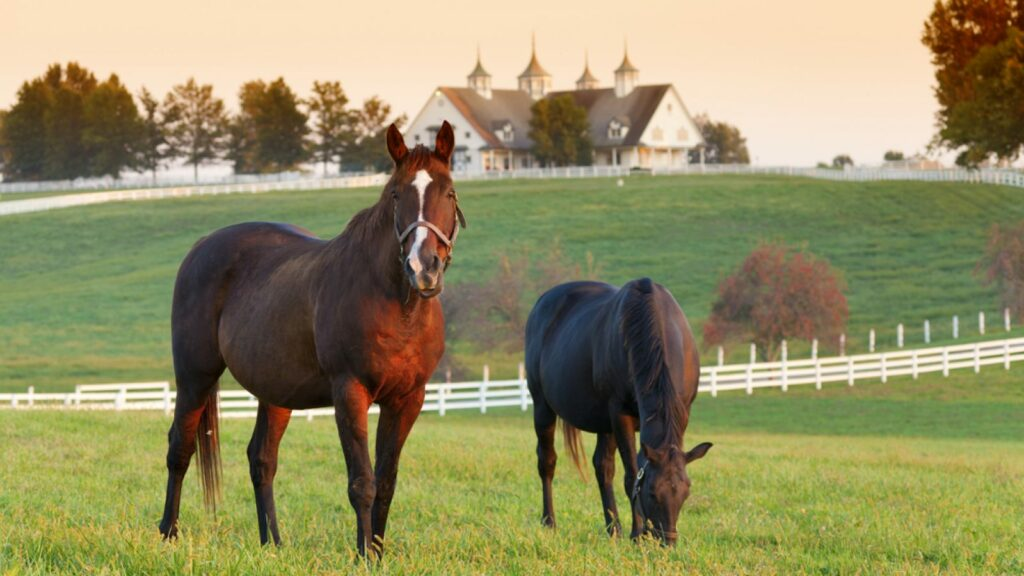 Two Black Horses in the Farm- Stock and Noble